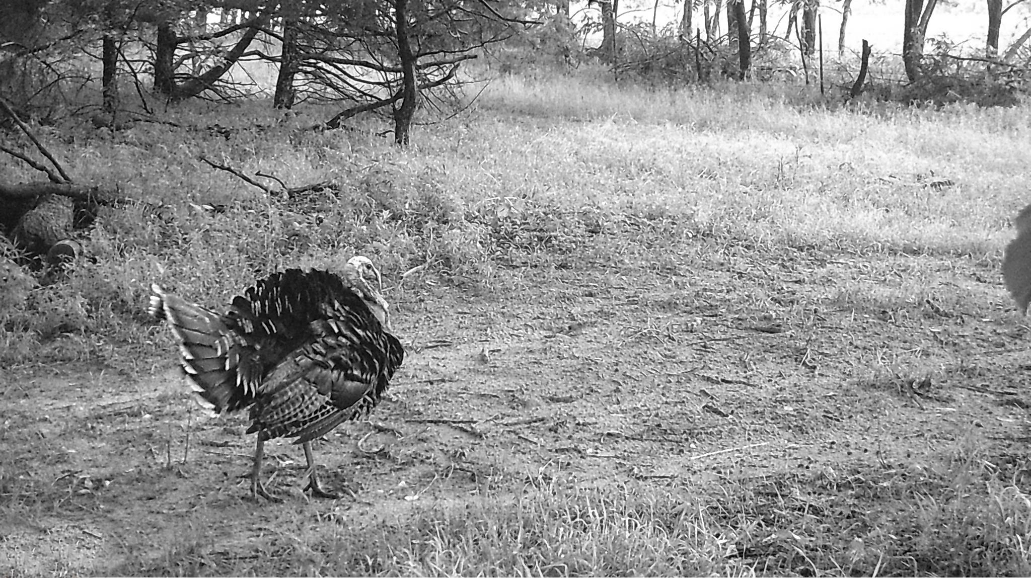 Tom-turkey.jpg
