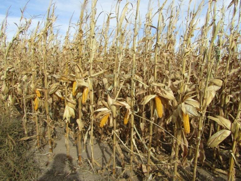 Tract-3-corn.jpg