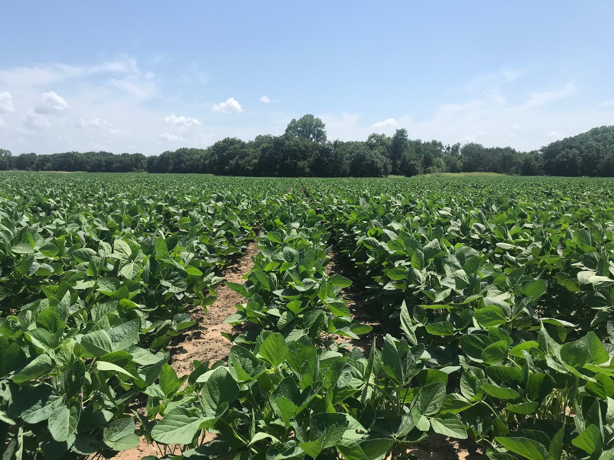 Soybeans-1.jpg