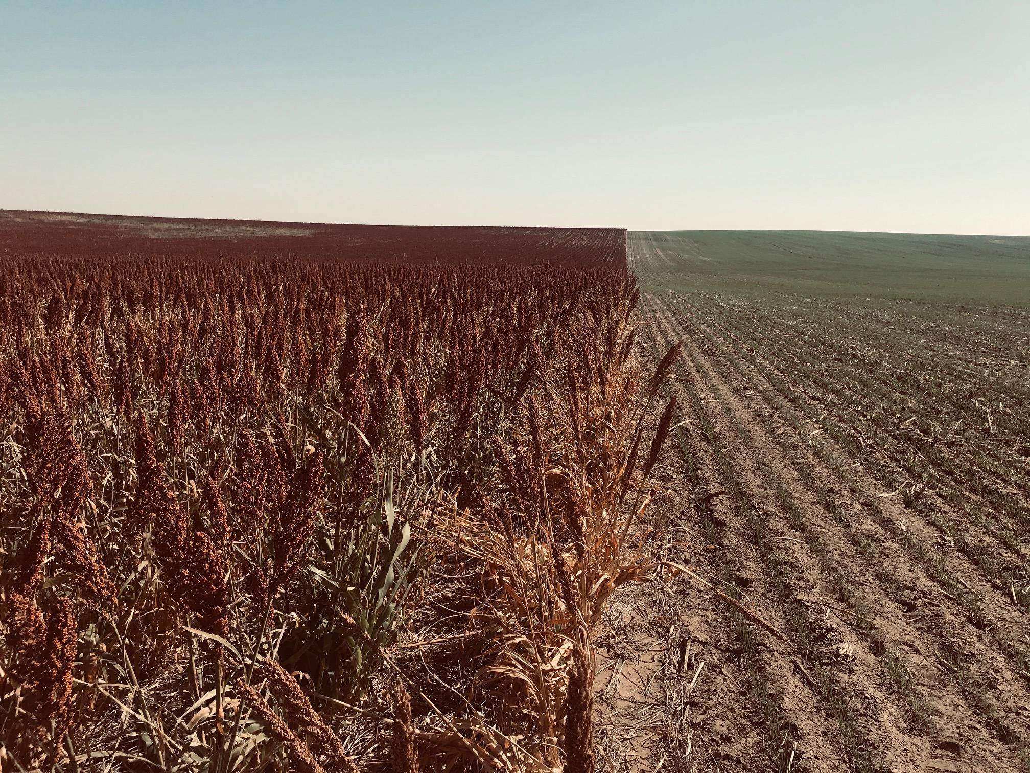 Milo-Wheat-1.jpg
